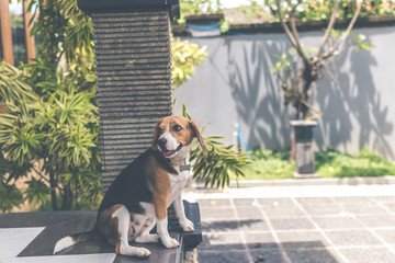 Close up portrait of cute female beagle dog outdoors in the balinese garden.