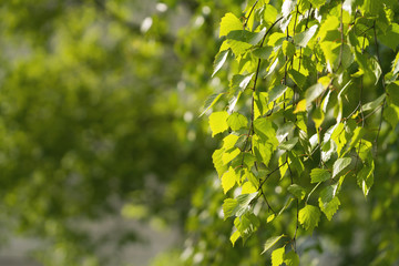 young birch leaves on a wam sunny day