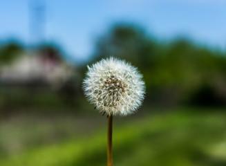 White dandelion on bright background
