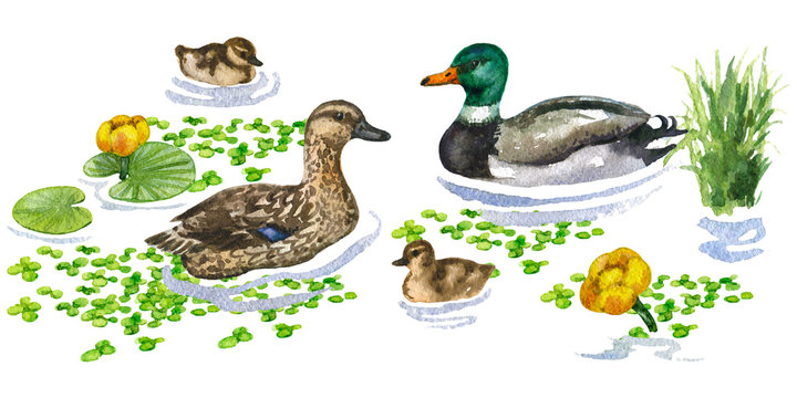 Raster watercolor cute illustration of a duck family on water augmented with different plants. Image for biological and ornithological books, magazines and atlases.