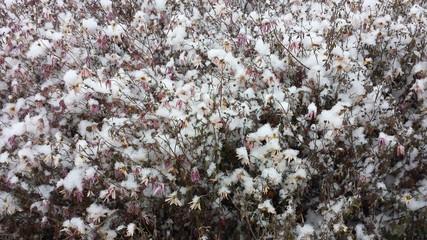 Baltimore, snowy flowers