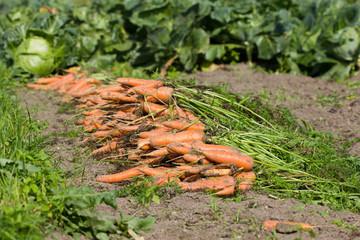 Freshly picked carrots on the ground. Fresh carrots on the garden, harvesting.