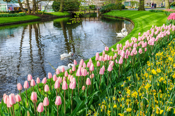 Beautiful park Keukenhof with flower beds of flowering pink tulips and yellow narcissus, pond with swans and green lawns in the spring day.