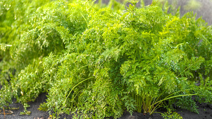 Fototapete - Green fresh background, carrots in the garden bed in garden with drops of water, shallow depth of field