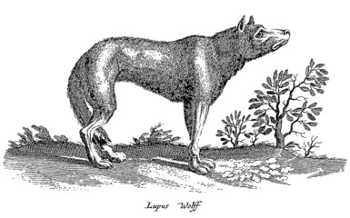 sad looking wolf in profile view standing in a landscape with trees isolated on white background (after a vintage woodcut, illustration, engraving from the 17th century)