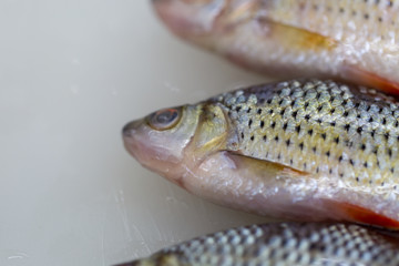 Studying fish in laboratory.