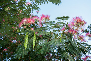 A sunlit blooming acacia with pink flowers and green pods.