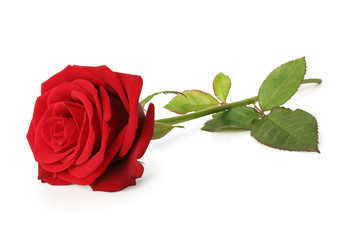 Lovely Red Rose (Rosaceae) isolated on white background, inclusive clipping path without shade, Germany
