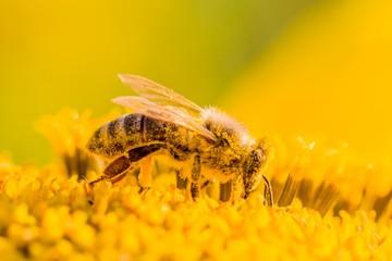 Makro Honig Biene sammelt gelbe Pollen auf Sonnenblume in Natur. Das Tier sammelt Nektar, sitzt auf Blume und bestäubt Blütenstaub in der Sommer Sonne. Wichtig für Umwelt Ökologie gegen Klimawandel