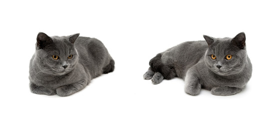gray cats are lying on a white background
