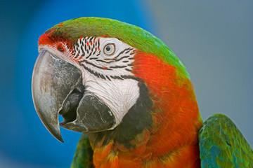 colorful parrots head closeup shot on green