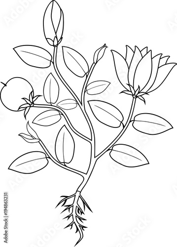 Coloring page. Plant with flowers, leaves, fruit and root system ...