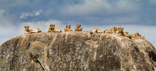 Lion family on a rock - granite kopje - in the Serengeti National Park in Tanzania
