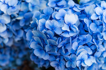 Foto op Canvas Hydrangea Hydrangea Flowers in the Garden