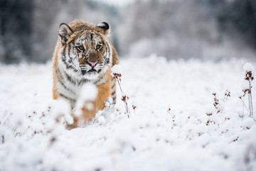 Wall Mural - Young Siberian tiger walking in snow fields towards the camera