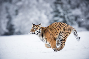 Young Siberian tiger running full speed across snow fields