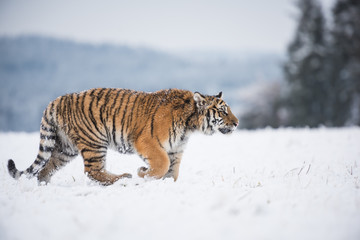 Wall Mural - Young Siberian tiger walking in snow fields