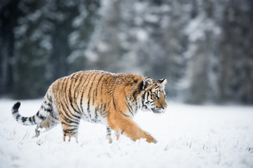Wall Mural - Young Siberian tiger silently walking in snow fields