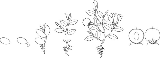Coloring page. Stages of growth of flowering plant from seed