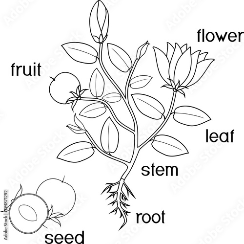 Coloring page. Parts of plant. Morphology of flowering plant with ...