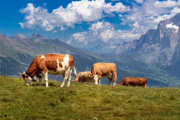 Brown mountain cows grazing on alpine pasture in Jungfrau region, Switzerland