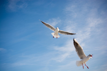 Pair of seagulls flying in the sky