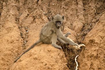 Babouin, Papio hamadryas, Afrique du Sud