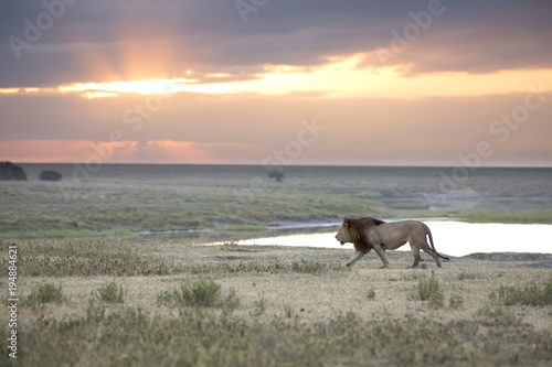 Portrait of free roaming african lion
