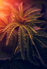 marijuana  background. bush cannabis.