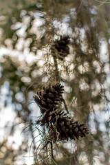Hanging pine cones in moss