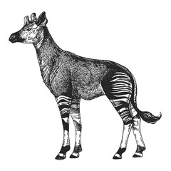 """Résultat de recherche d'images pour """"okapi vecteur"""""""