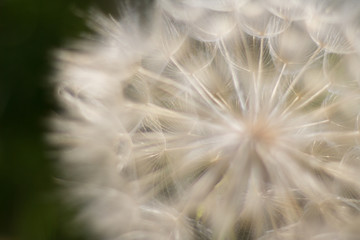 a big Dandelion