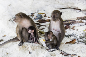 Baby monkeys with their mothers.Monkey beach,Thailand
