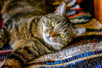 Arrogant short-haired domestic beautiful tabby cat lying on the fluffy striped carpet. Pet care and animals concept