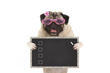 cute female pug dog puppy holding up blank checklist on blackboard with check boxes drawn with chalk, isolated on white background