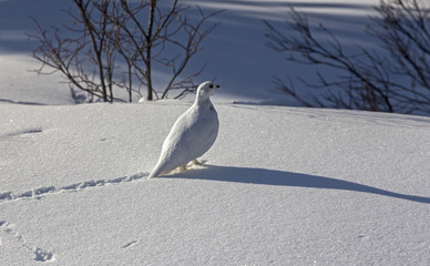 Ptarmigan Bird Natural Environment and Snow Tracks in Winter near Lake Louise Banff National Park Canadian Rocky Mountains
