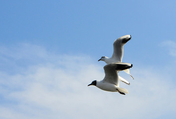 Birds of Ukraine.Gulls fly against the blue sky. Wintering waterfowl
