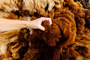 Close-up macro of woman's hand grabbing raw alpaca fibers