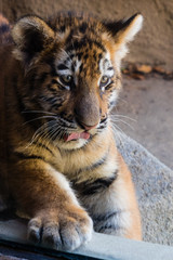 Tiger cub sticking out tongue