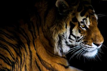 Tiger in shadows