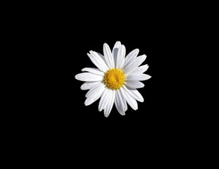 Daisy Flower - Black Background