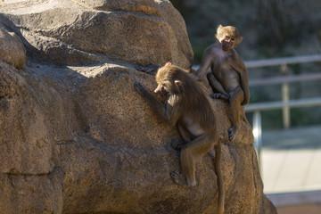 Primates in the wild