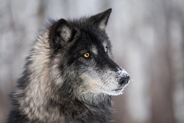Fototapete - Black Phase Grey Wolf (Canis lupus) Turns Right
