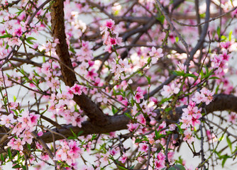 Peach flowers detail photograph
