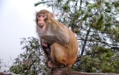 Monkey sit on the fence at Zhangjiajie