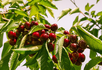 ripe sweet cherries on cherry tree against sky