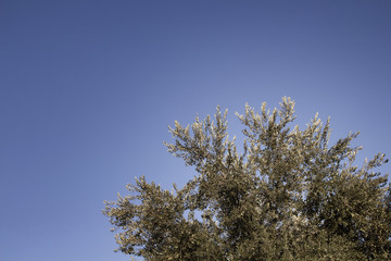 View of olive tree with clear, blue sky background.
