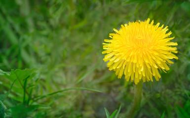 Yellow flower of a dandelion