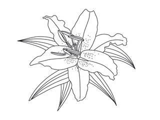 lily flower drawing isolated on White background. illustration