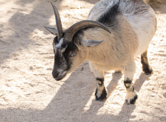 adult female pygmy goat poses for picture